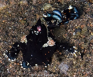 black frog fish kicking back by Dave Baxter 